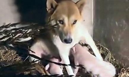 Hond voedt jonge varkens op