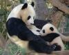 borstvoeding baby reuzen-panda